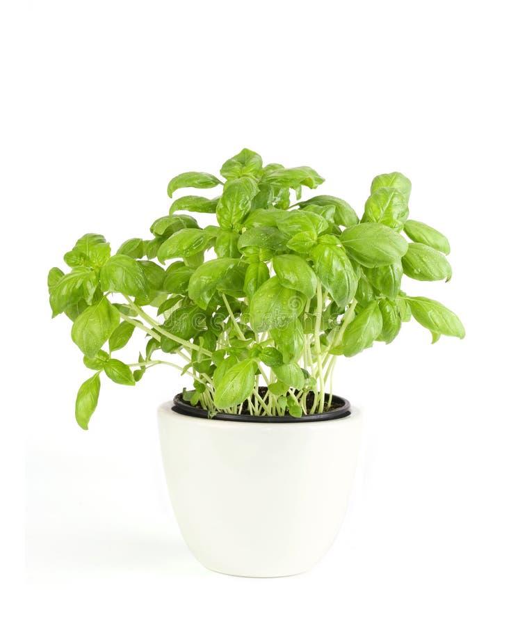 Basilic d'herbes de cuisine dans le bac images stock