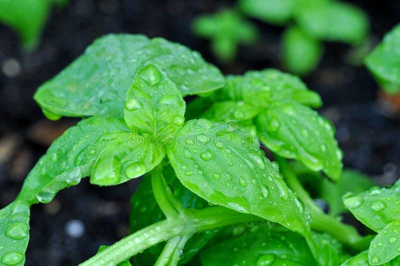 Basilic frais photos stock