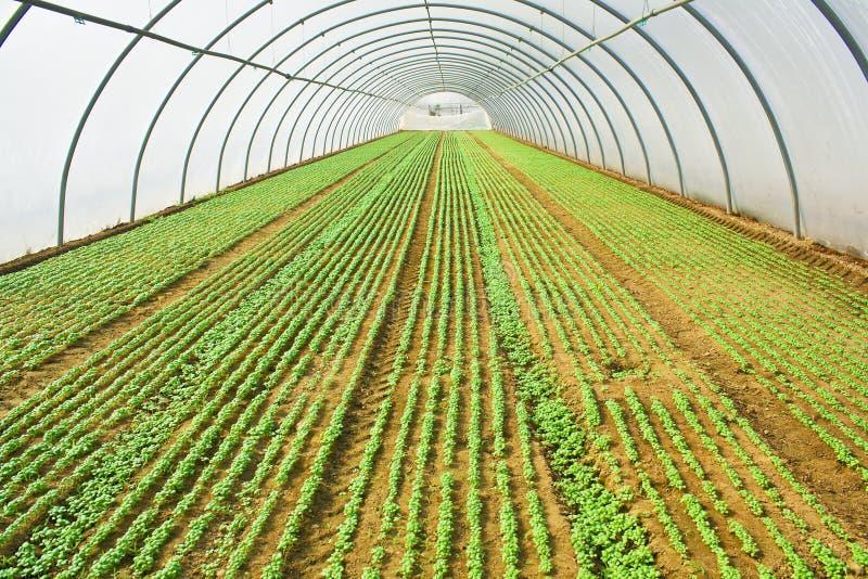 Basilic s'élevant dans la serre ou la verdure photo stock
