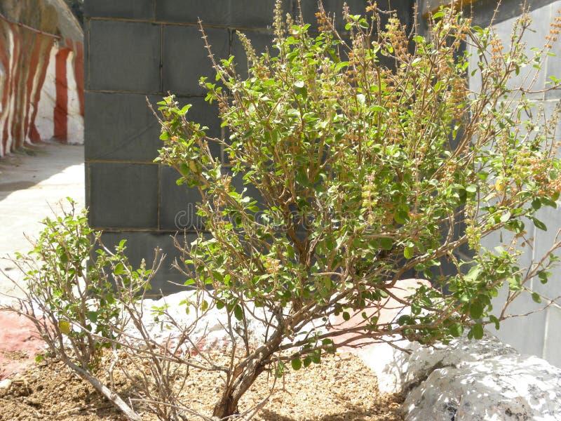 Basilic saint, usine de Tulsi au temple image stock