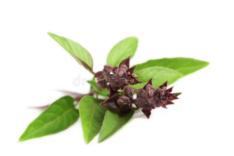 Basilic thaï. image stock