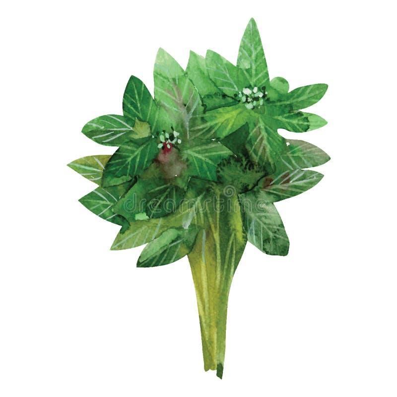 Basilic vert illustration de vecteur