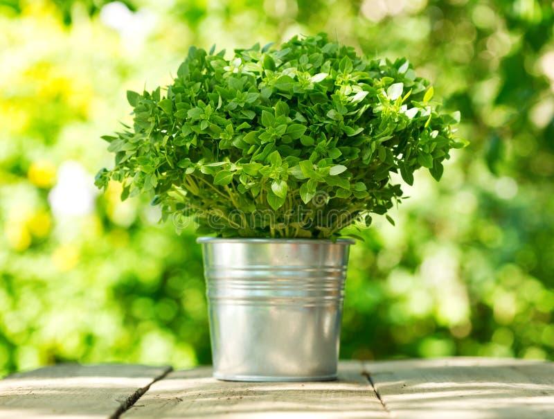 Basilic vert dans un pot images stock