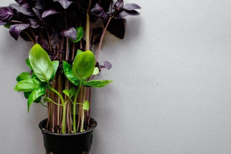 Basilic vert frais sur un fond gris photo stock