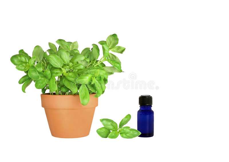Basilico dell'erba fotografia stock
