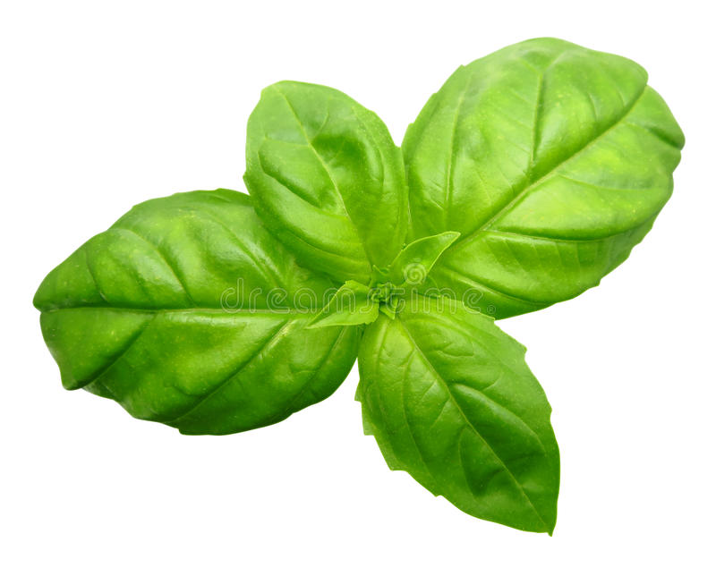 Basilico verde isolato fotografie stock