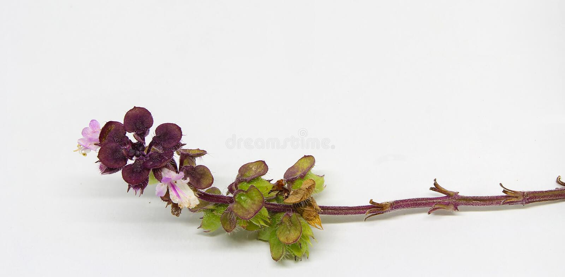 Basilicumbloemen royalty-vrije stock foto's