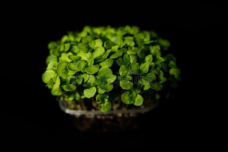 Basilicumspruiten stock fotografie