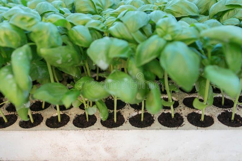 Basilicumzaailingen, groen zaailingen aromatisch kruid, het tuinieren royalty-vrije stock foto's