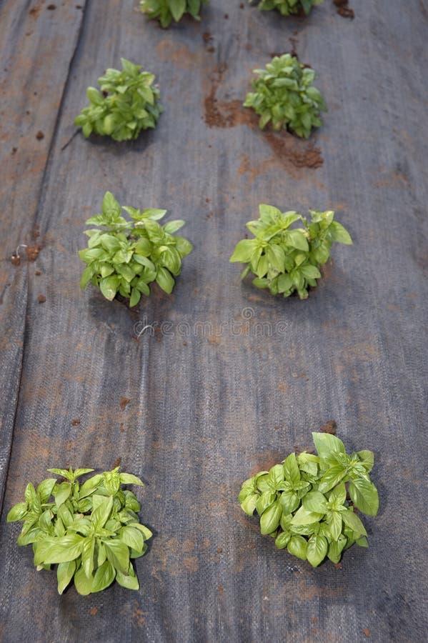 Basilikum im Gemüsegarten stockbilder