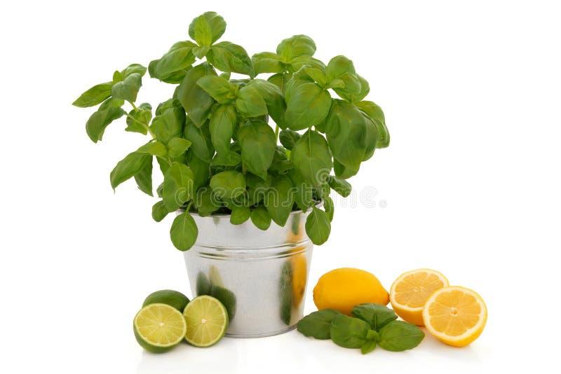 Basilikum-Kraut und Zitrusfrucht lizenzfreies stockbild
