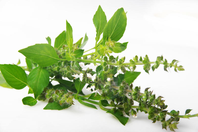 Basilikum - Ocimum basilicum stockfotografie