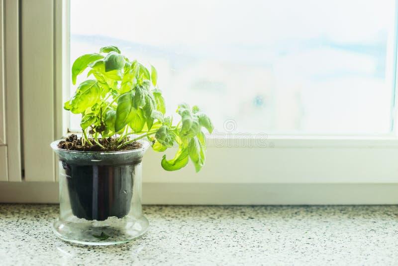 Basilikumanlage in einem Topf auf Fensterbrett lizenzfreie stockfotografie