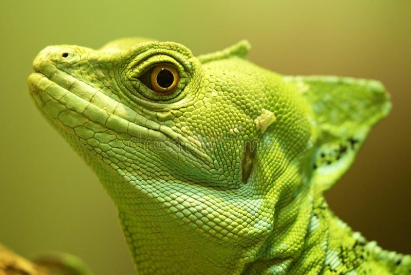 Basilisco crestato verde - zoo di Smithsonian's ed istituto nazionali di biologia di conservazione 2018 serie fotografie stock libere da diritti