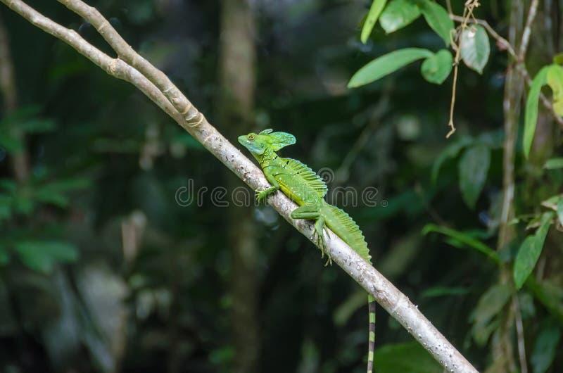 Basilisco ou lagarto Plumed de Jesus Christ no Pa nacional de Tortuguero fotografia de stock royalty free