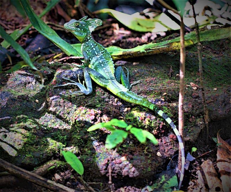 Basilisco que levanta no parque nacional de Tortuguero, Costa Rica fotografia de stock