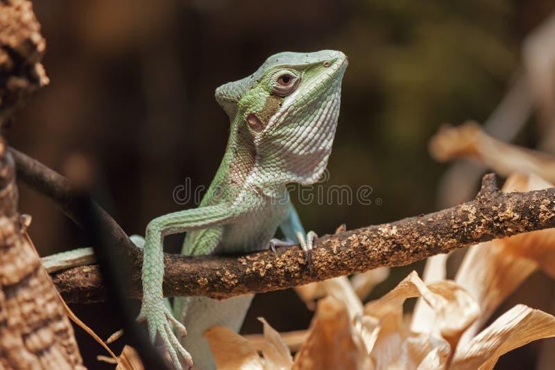 Basilisco verde fotografia stock