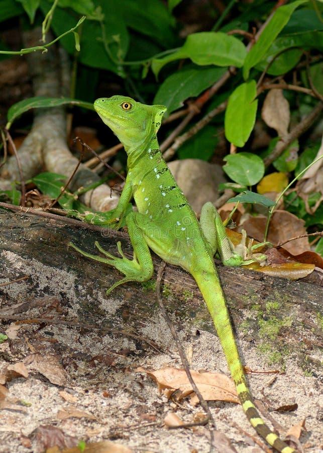 Basilisco verde femminile, plumifrons del Basiliscus immagine stock libera da diritti