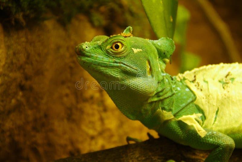 basiliscus стоковое фото