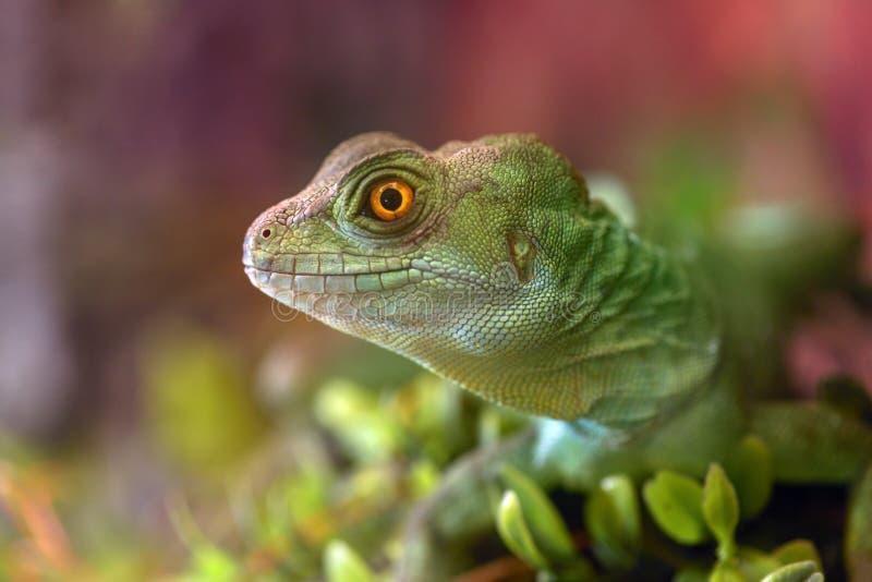 Basiliscus de Basiliscus, plumifrons de Basiliscus Plan rapproché de la tête du terrain communal vert de basilic photographie stock