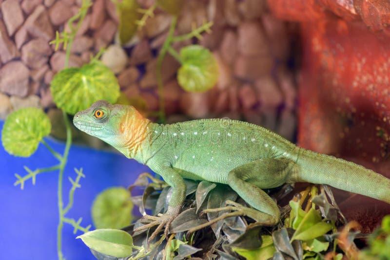 Basiliscus Basiliscus, Basiliscus plumifrons Μεγάλη πράσινη συνεδρίαση Shlemonosny βασιλίσκων σε έναν κλάδο δέντρων στο terrarium στοκ φωτογραφίες