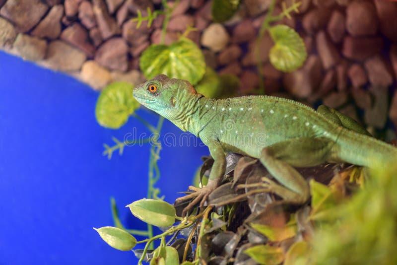 Basiliscus Basiliscus, Basiliscus plumifrons Großer grüner Basilisk Shlemonosny, das auf einem Baumast im Terrarium sitzt stockfoto