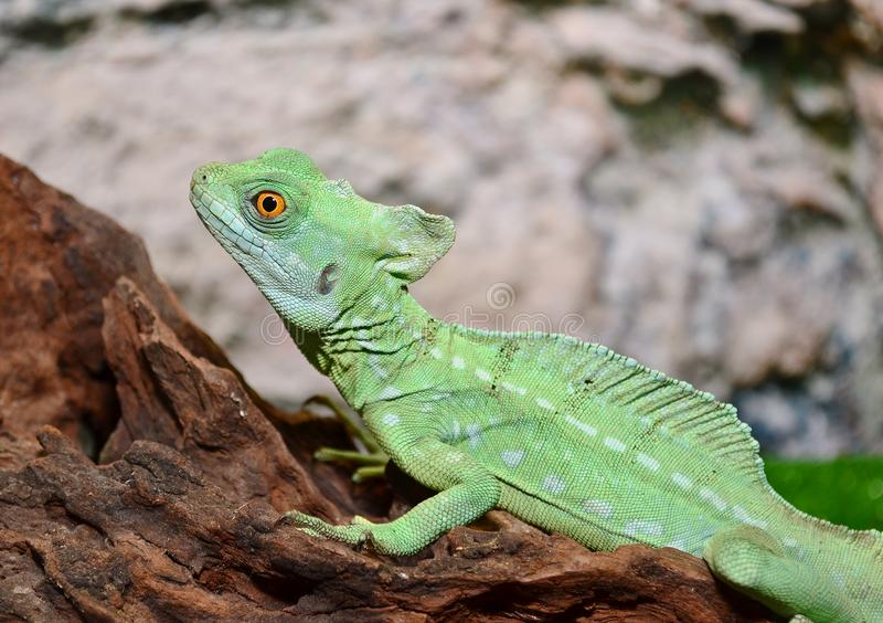 Basilisk lizard sitting on a tree. Lizard that runs through the water.  the fast green lizard sits on a brown tree stock photo