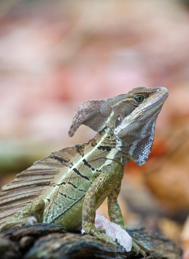 Free Basilisk Or Jesus Christ Lizard Stock Images - 14039674