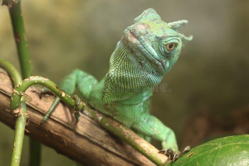 Basilisk verde foto de stock royalty free