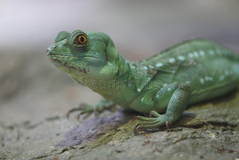 Basilisk verde fotografia de stock