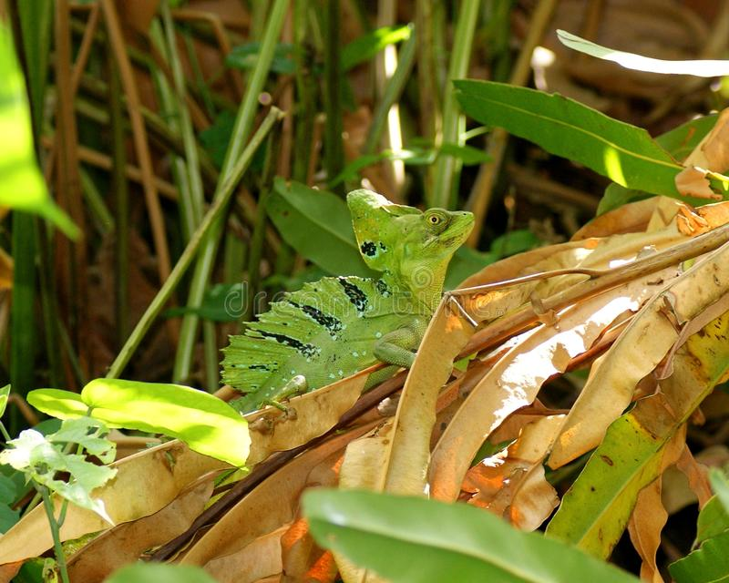Basilisk verde masculino, plumifrons do Basiliscus imagens de stock