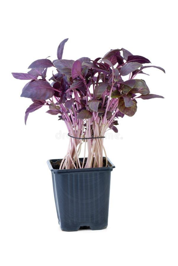 Basilu purpurowy dorośnięcie zdjęcie stock
