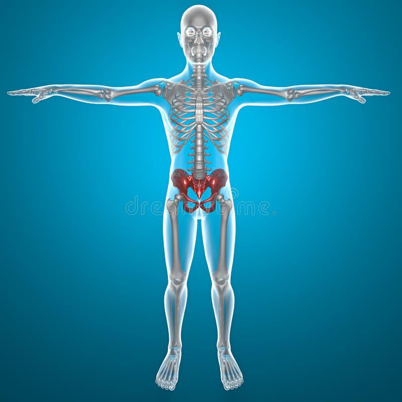 Download Basin Pelvis Human Body X-ray Stock Illustration - Illustration: 32914856