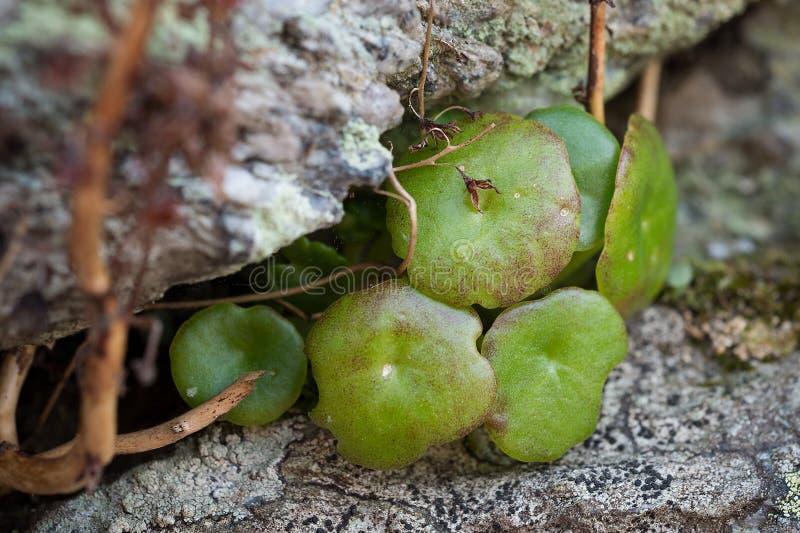 Basisbryophyta royalty-vrije stock fotografie