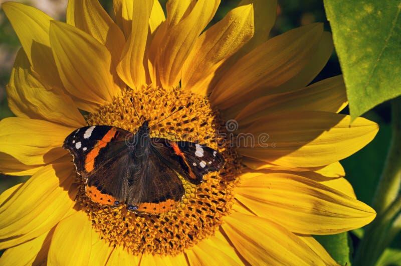 Basisrecheneinheit auf einer Sonnenblume Vanessa-atalanta lizenzfreie stockfotografie