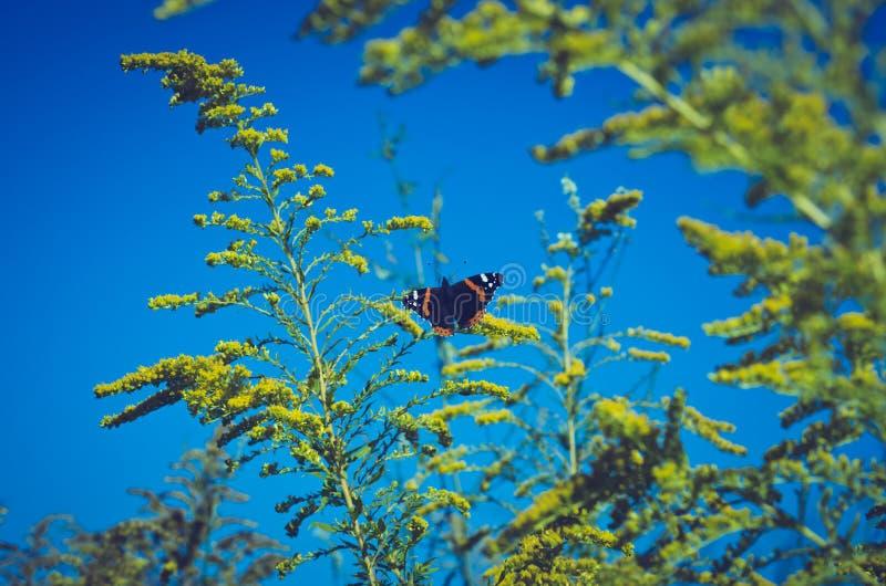 Basisrecheneinheit auf gelben Blumen Vanessa-atalanta stockfoto