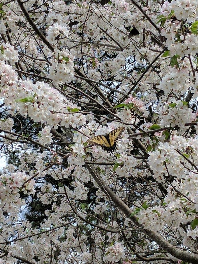 Basisrecheneinheit auf Kirschblüten stockbilder