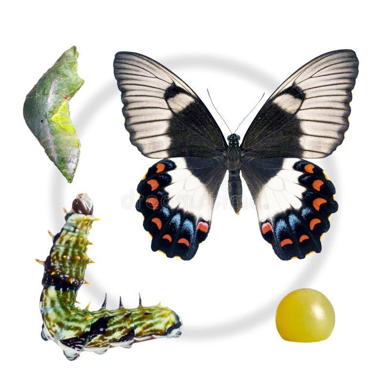 Basisrecheneinheit, Obstgarten Swallowtail, Lebenszyklushirsch lizenzfreies stockfoto