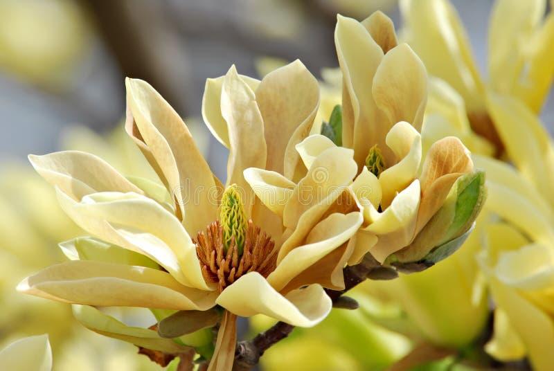Basisrecheneinheits-Magnolie stockbild