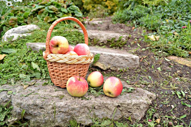 Basket with apple royalty free stock image