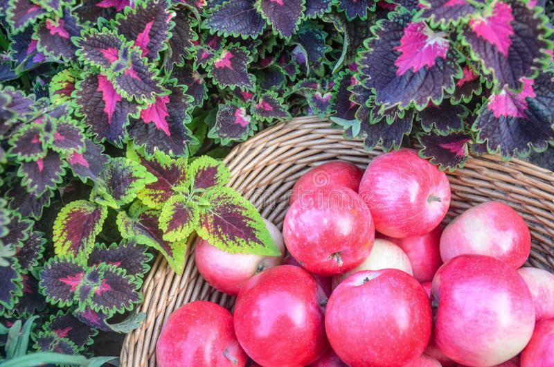 Basket of apples. Closeup of red leaves a coleus plant royalty free stock image