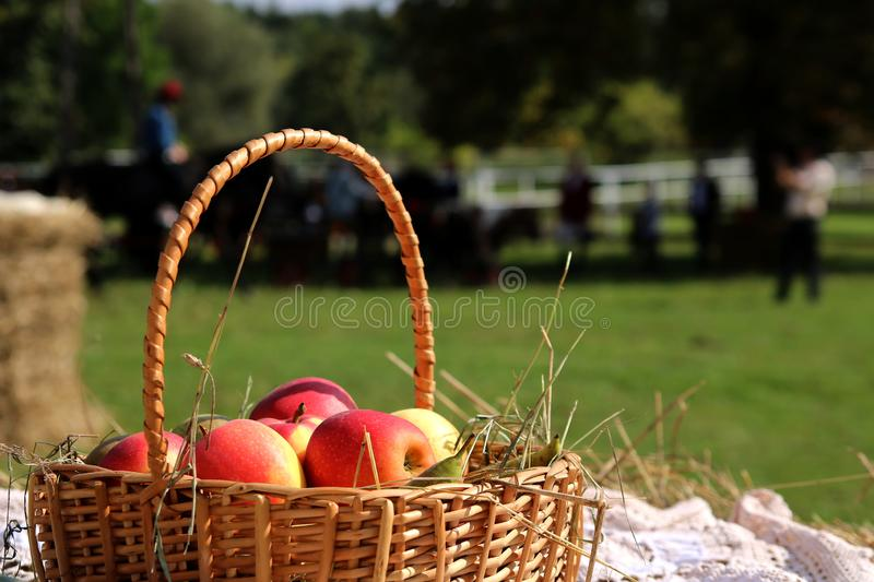 Basket with apples at a horse farm in the countryside stock photography