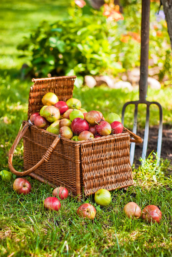 Download Basket Of Apples With Pitchfork Stock Image - Image of healthy, group: 25662201
