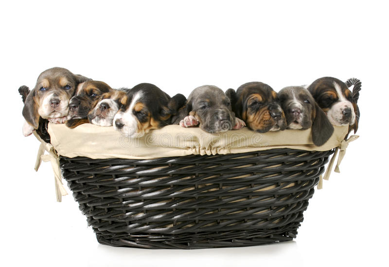 Basket of bassets