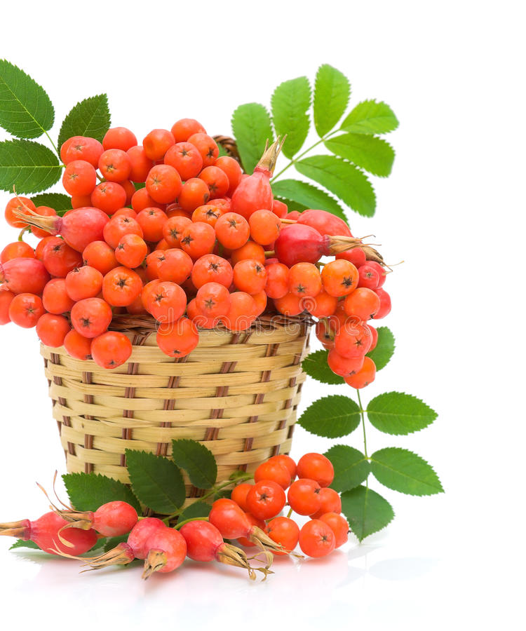 Basket with berries rowan and wild roses. Wicker basket with berries, mountain ash and wild roses on a white background close-up stock photo