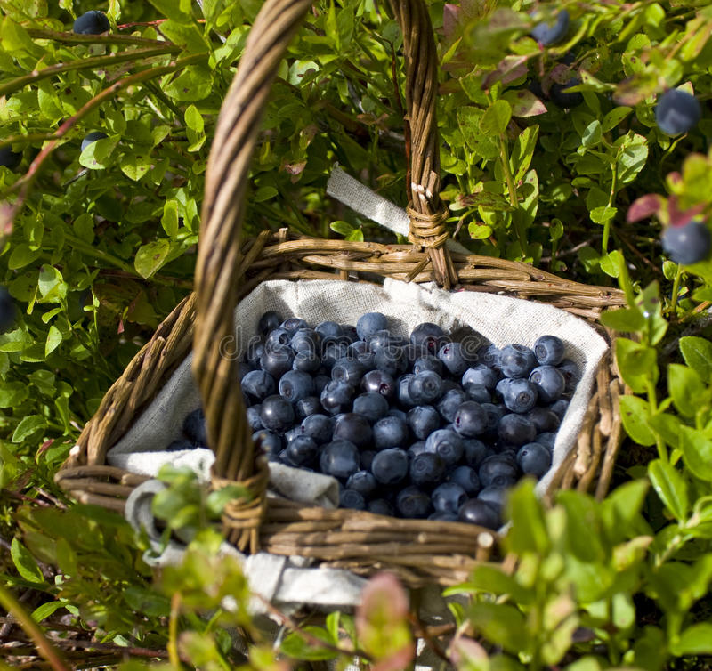 Basket of bilberries. Basket full of delicious bilberries in nature royalty free stock photos