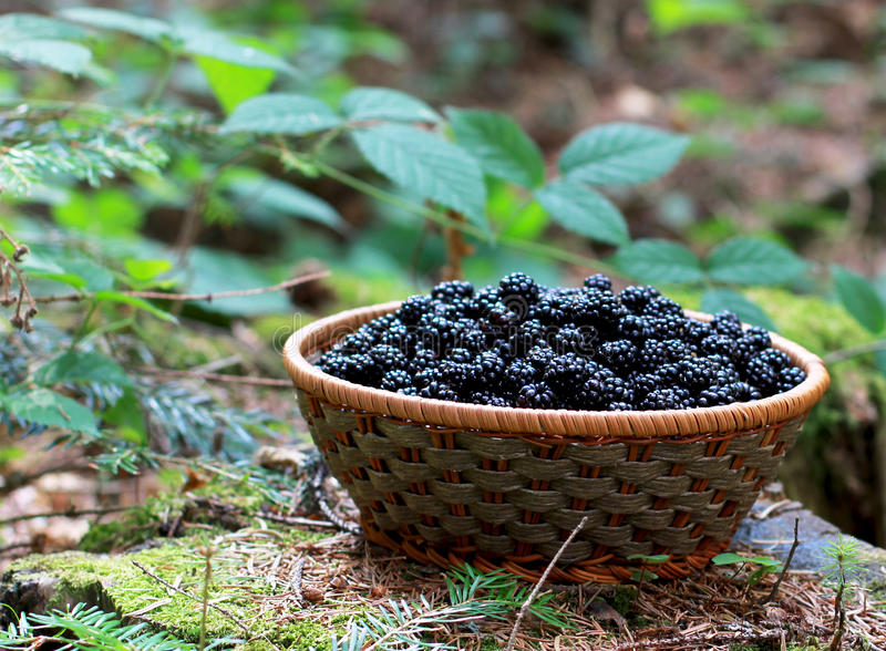 Download Basket Of Blackberries Royalty Free Stock Photography - Image: 26213307