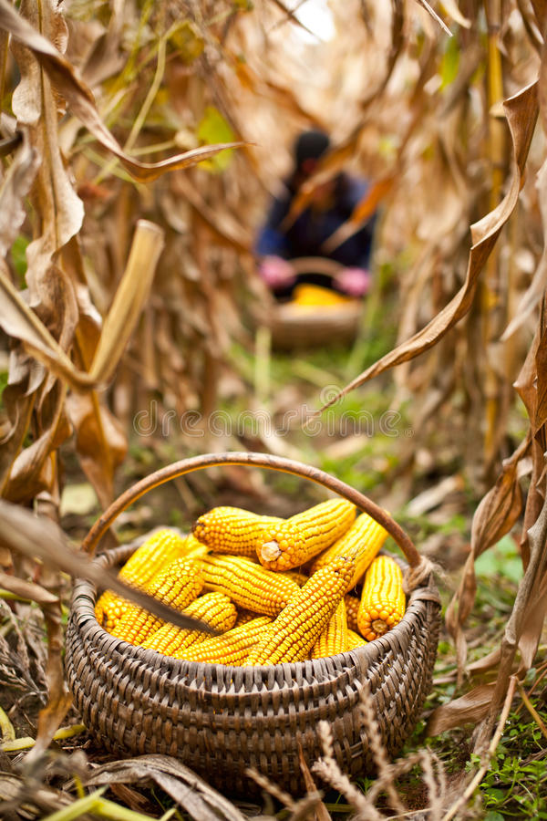 Basket with corn in the field stock images