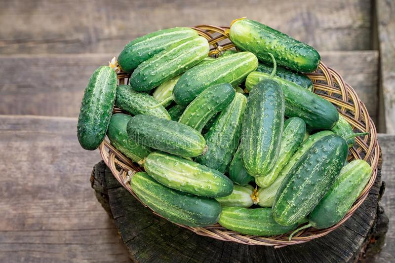 Basket with cucumbers. Autumn harvesting. Summer harvest. Blanks for the winter. Basket of vegetables. Fresh cucumbers. The Basket with cucumbers. Autumn stock photos