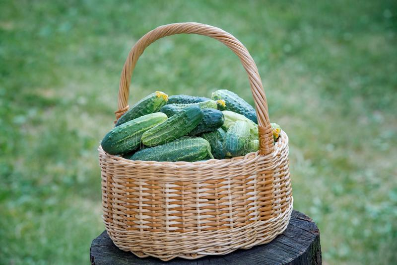 Basket with cucumbers. Summer harvest. Blanks for the winter. Basket of vegetables. Fresh cucumbers. The Basket with cucumbers. Summer harvest. Blanks for the royalty free stock image